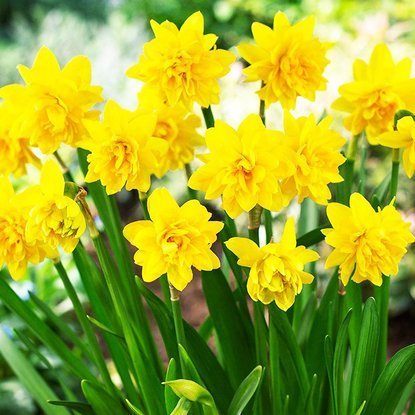 Narcyz (Narcissus) Tete Bouncle 5 szt.