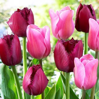 Tulipan (Tulipa ) Curly Sue / Mistress 10 szt.