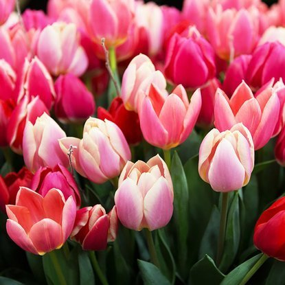 Tulipan (Tulipa) Delight Mix 25 szt.