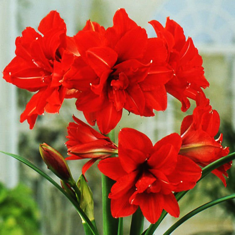Amarylis (Hippeastrum) Red Peacock 1 szt.