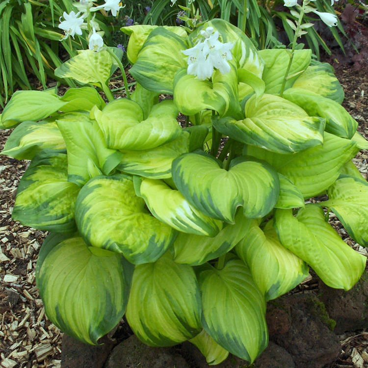 Hosta (Funkia) Stained Glass ® 1 szt. DONICZKA