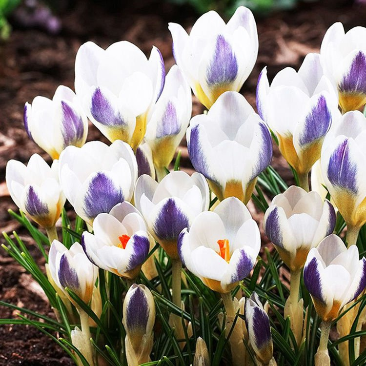 Krokus (Crocus) Blue Bird 10 szt.