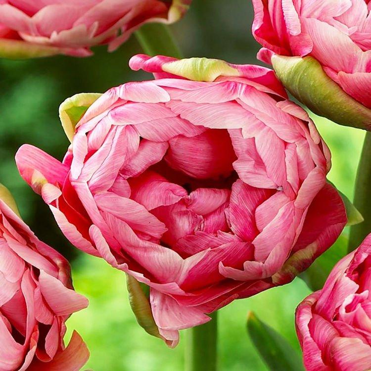 Tulipan (Tulip) Wedding Gift 5 szt.