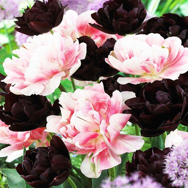 Tulipan (Tulipa) Inspiracje Black & Pink 10 szt.