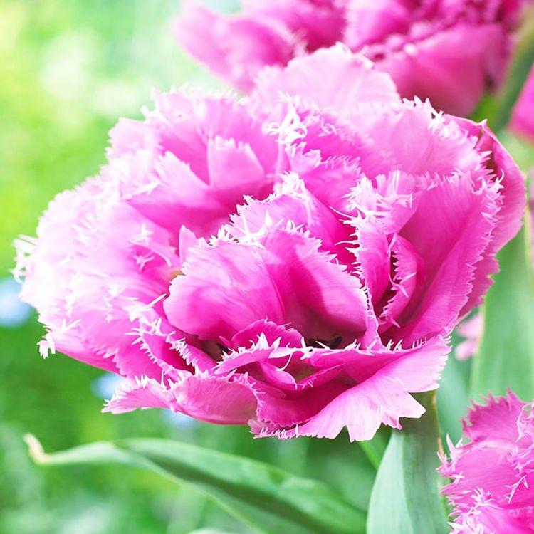 Tulipan (Tulipa) Matchpoint 5 szt.