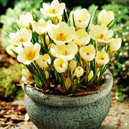 Krokus (Crocus) Cream Beauty 10 szt.