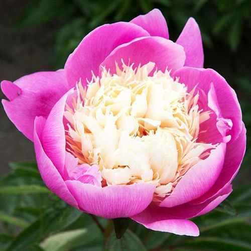 Piwonia (Paeony) Bowl of Beauty 1 szt.