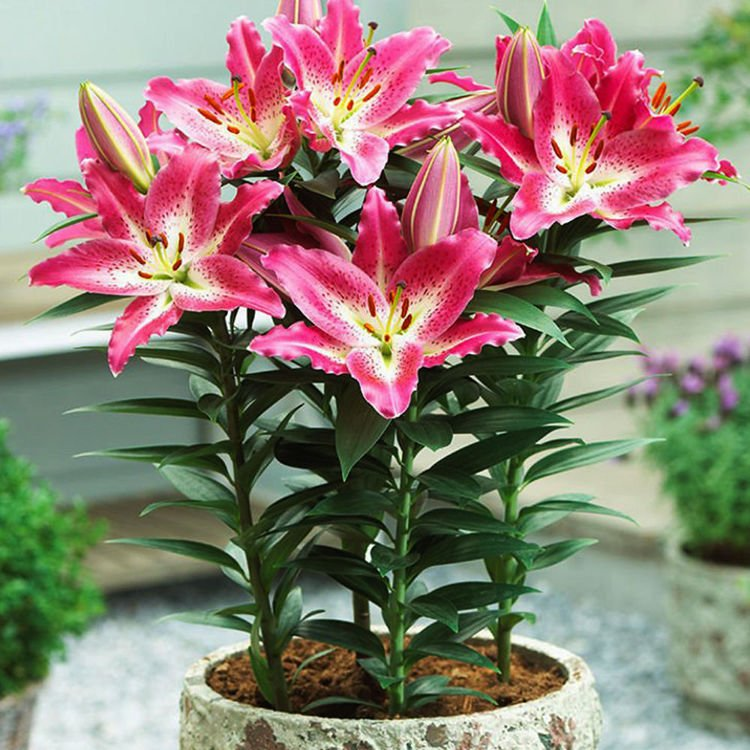 Lilium (Lilia) Entertainer 1 szt.