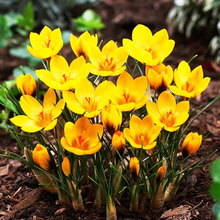 Krokus (Crocus) Goldilocks 10 szt.