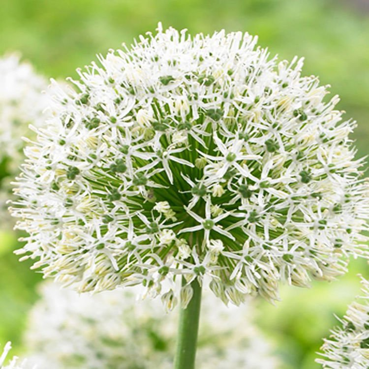 Czosnek (Allium) Mount Everest 1 szt.