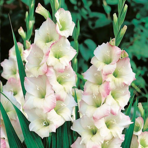 Gladiolus (Mieczyk) Cream Perfection ® 5 szt.