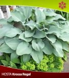 Hosta (Funkia) Krossa Regal 1 szt.