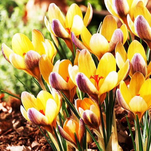 Krokus (Crocus) Advance 10 szt.