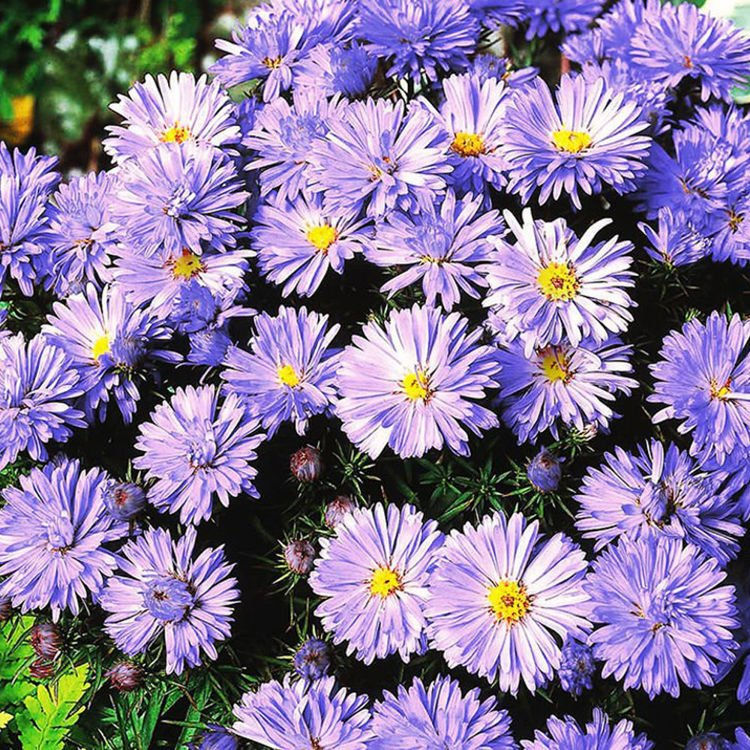 Aster (Aster) Lady in Blue 1 szt.