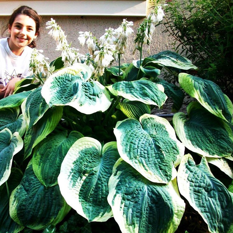 Hosta (Funkia) Earth Angel ® 1 szt.
