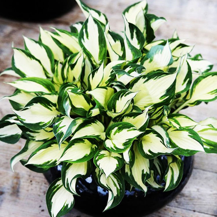 Hosta (Funkia) Fire and Ice 1 szt.