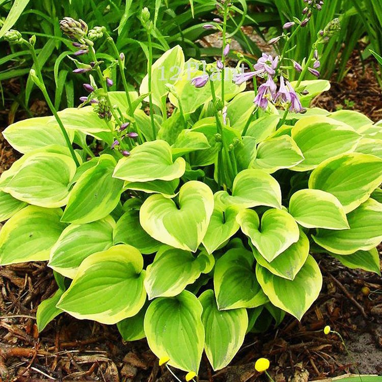 Hosta (Funkia) Golden Tiara 1 szt.