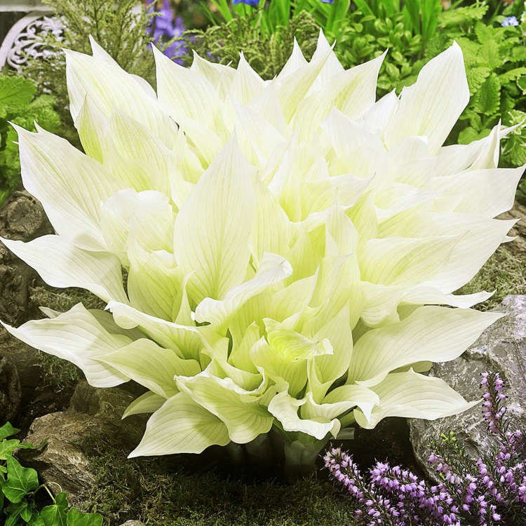 Hosta (Funkia) White Feather ® 1 szt.