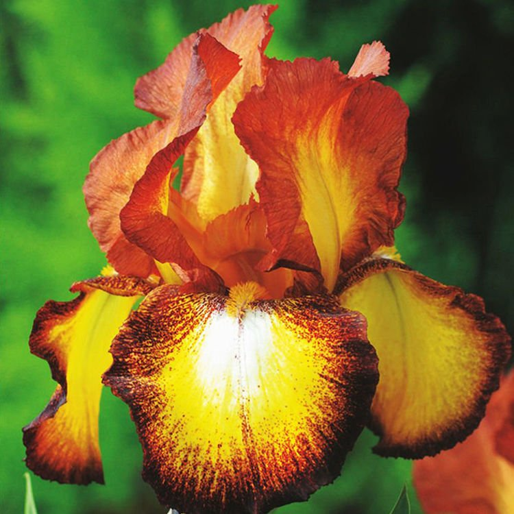 Kosaciec (Iris Germanica) Fire Cracker 1 szt.