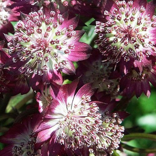 Astrantia (Jarzmianka) Star of Beauty ® 1 szt.