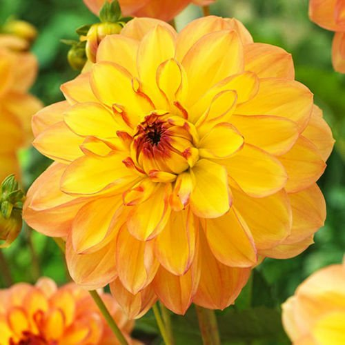 Dahlia (Dalia) Happy go Lucky 1 szt.