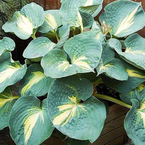Hosta (Funkia) Dream Queen 1 szt.
