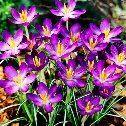 Krokus (Crocus) Whitewell Purple 10 szt.
