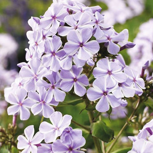 Phlox (Płomyk) All in One 1 szt.