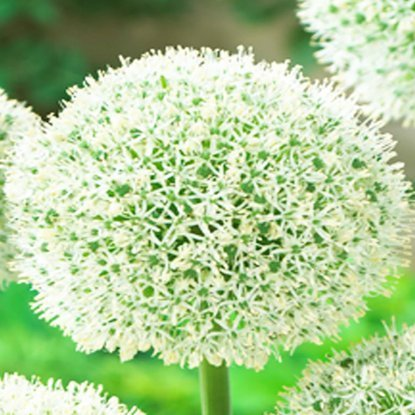 Czosnek (Allium) White Giant 1 szt.