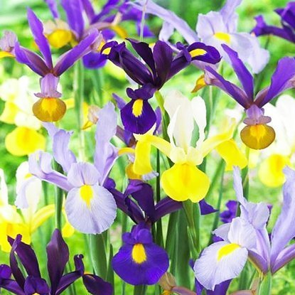 Kosaciec (Iris Hollandica) MIX 10 szt.