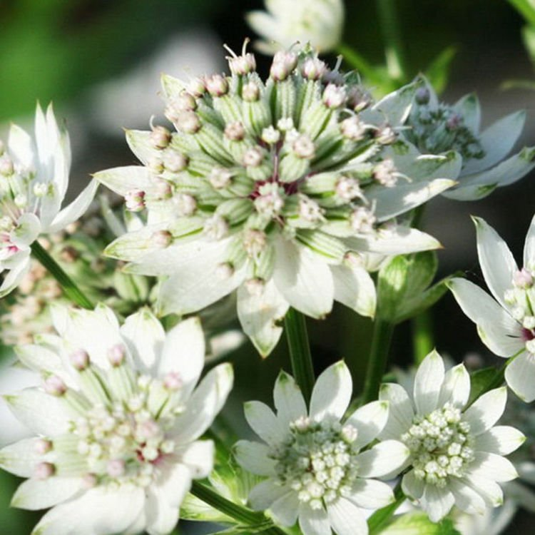 Astrantia (Jarzmianka) Star of Billion ® 1 szt.