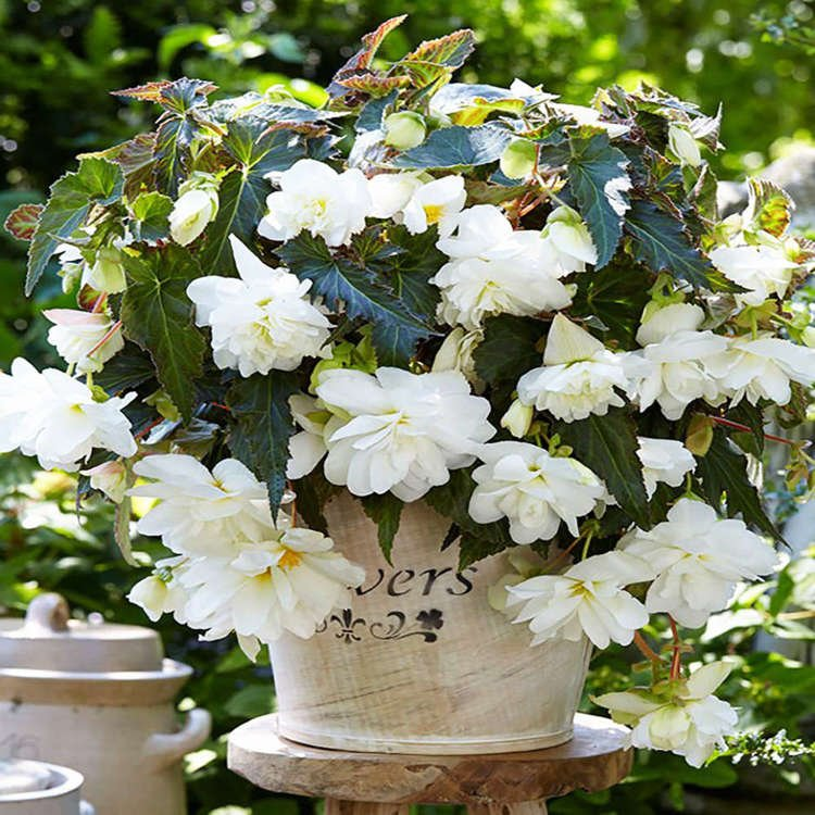 Begonia (Begonia) Illumination white 1 szt.