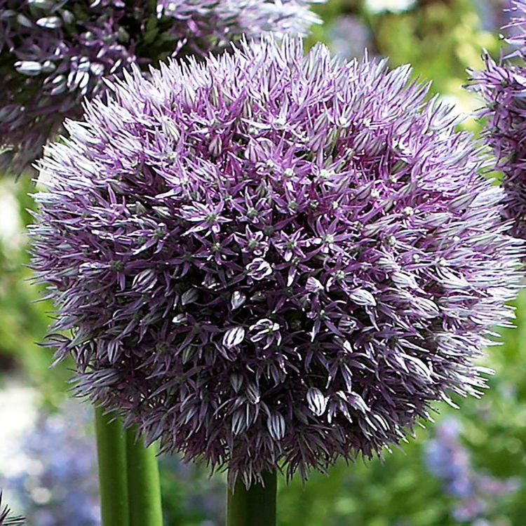 Czosnek (Allium) Round and Purple 1 szt. XXL