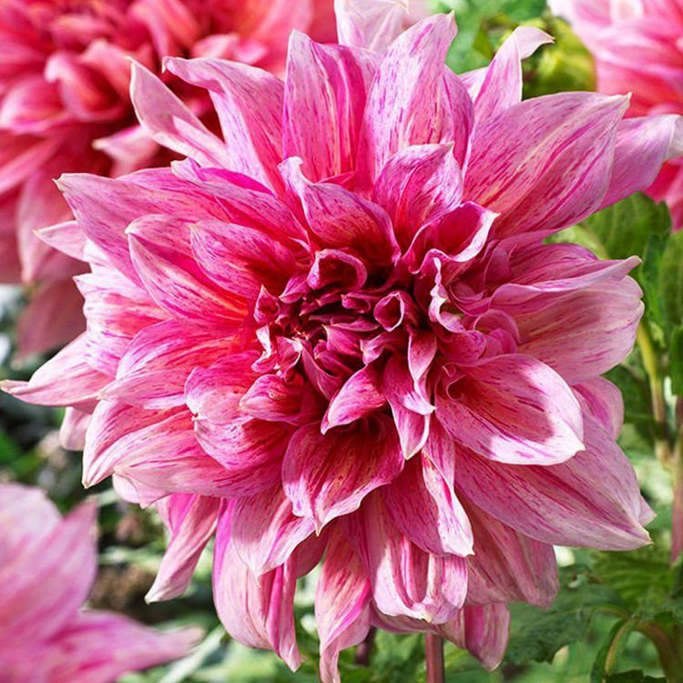 Dalia (Dahlia) Striped Emory Paul 1 szt.