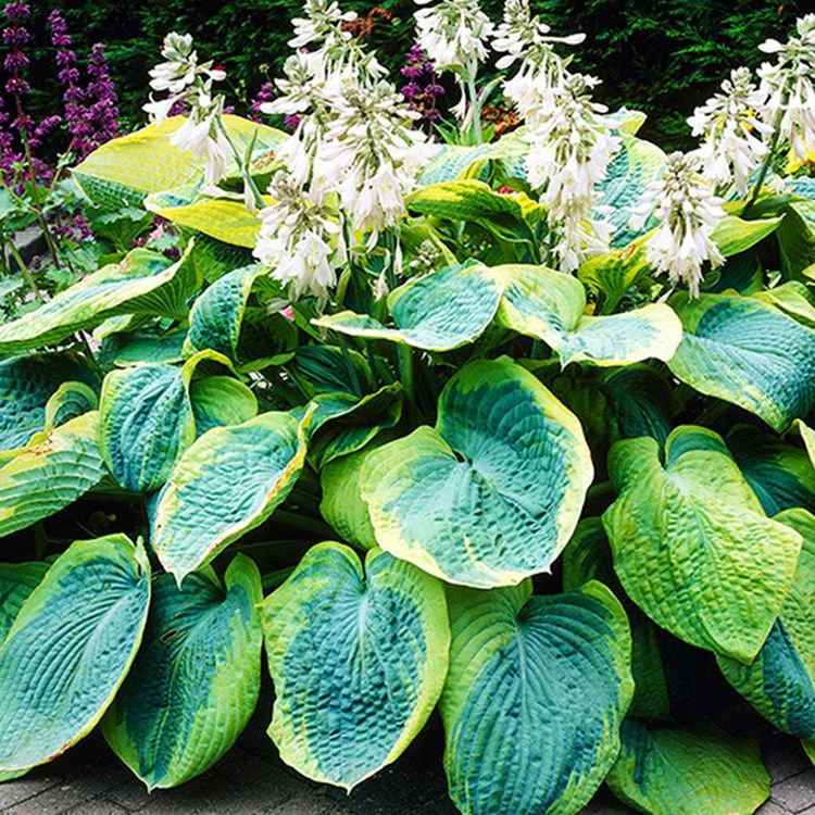 Funkia (Hosta) Frances Williams 1 szt