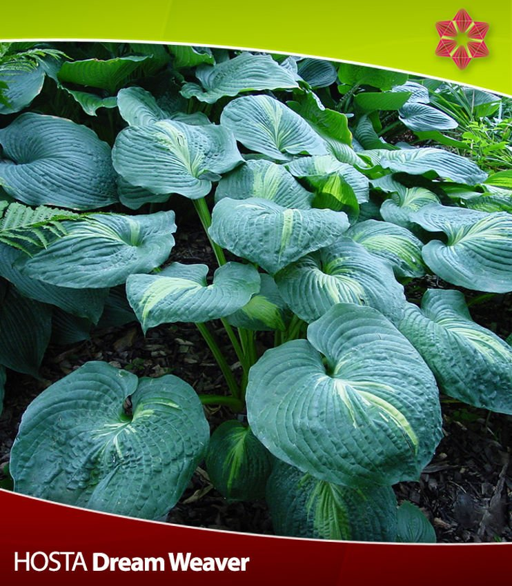 Hosta (Funkia) Dream Weaver 1 szt.