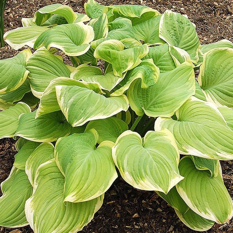Hosta (Funkia) Fragrant Bouquet 1 szt.