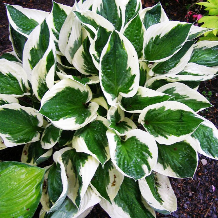Hosta (Funkia) Patriot 1 szt.