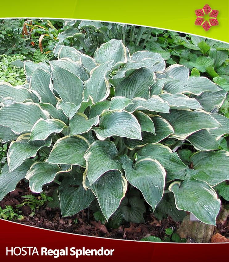 Hosta (Funkia) Regal Splendor 1 szt.