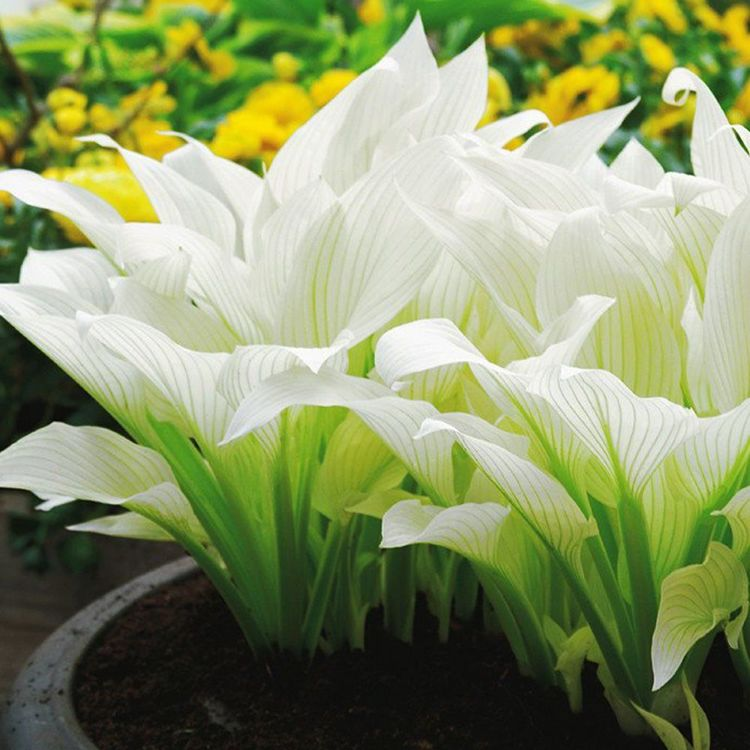 Hosta (Funkia) White Feather ® 1 szt. DONICZKA