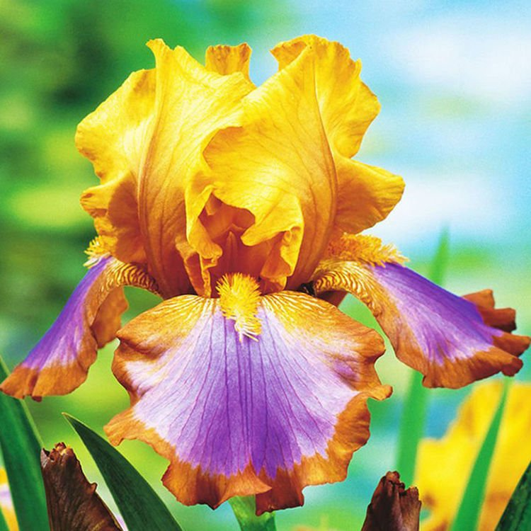 Iris Germanica Brown Lasso 1 szt.
