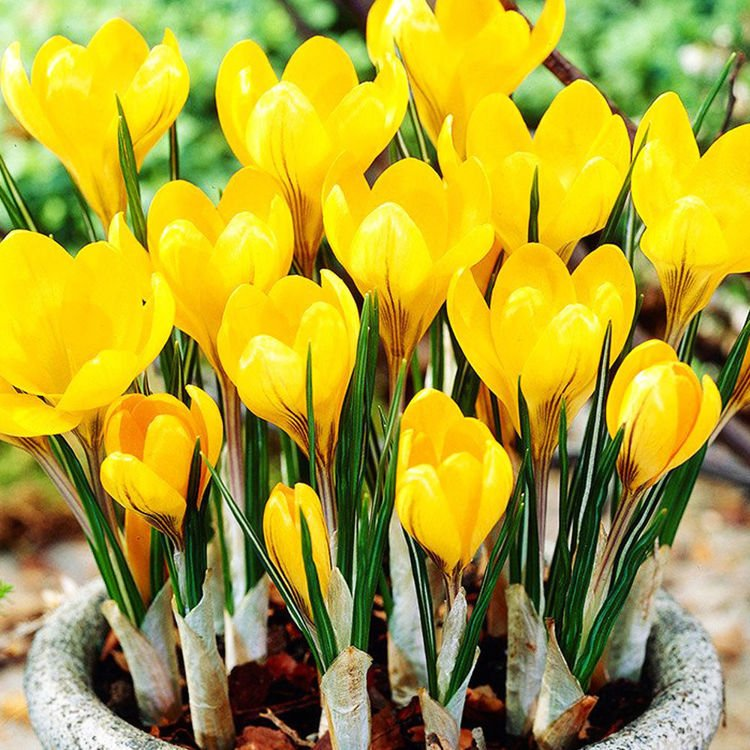 Krokus (Crocus) Golden Yellow 10 szt. XXL