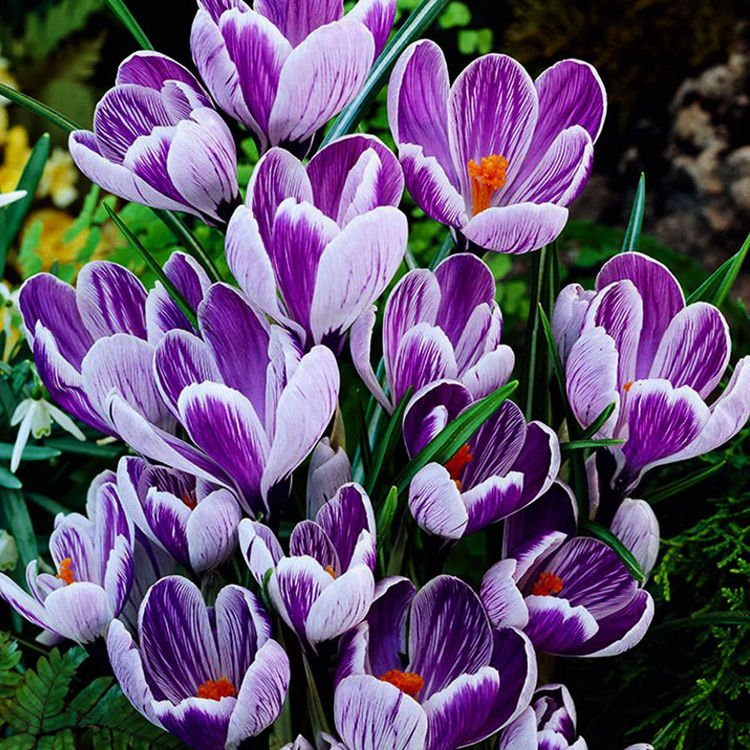 Krokus (Crocus) King of de Striped 10 szt.