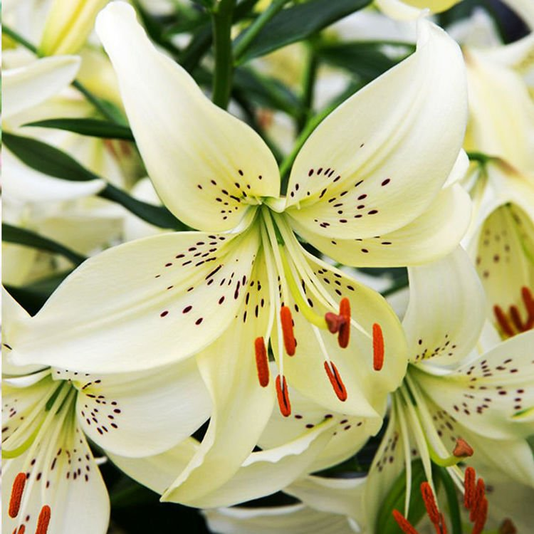 Lilia (Lilium) Sweet Surrender 1 szt.