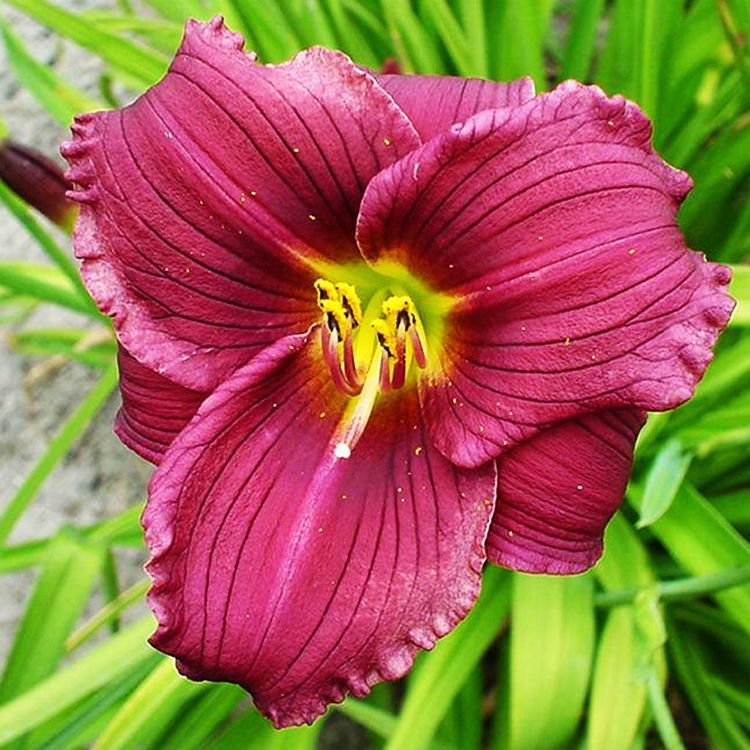 Liliowiec (Hemerocallis) Grape Velvet 1 szt