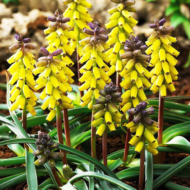 Szafirek (Muscari) Golden Fragrance 3 szt.