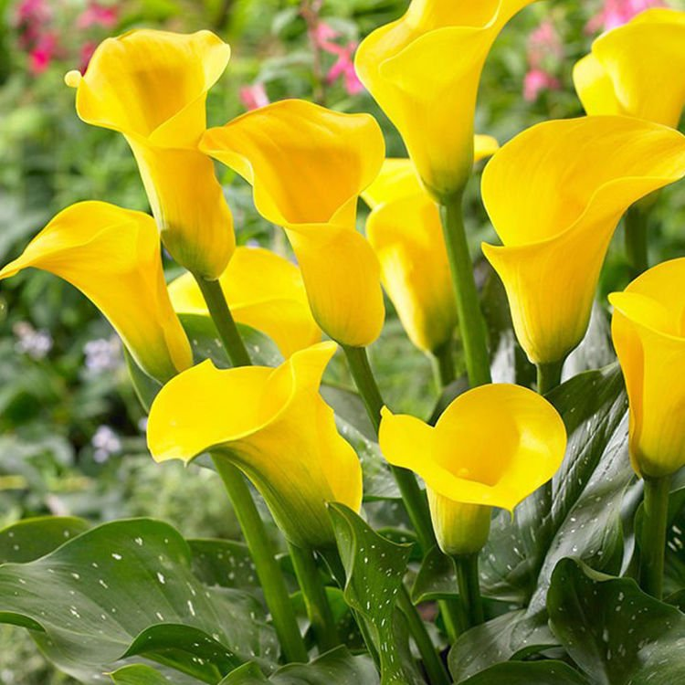 Zantedeschia (Kalla) Capitain Troy 1 szt.