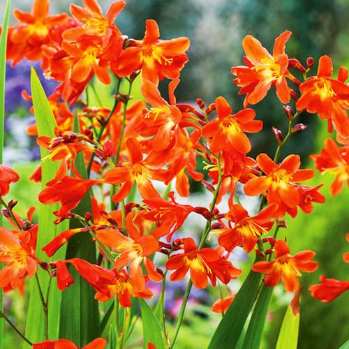 Crocosmia (Krokosmia) Red King 10 szt.