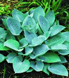 Hosta (Funkia) Blue Hawaii 1 szt.