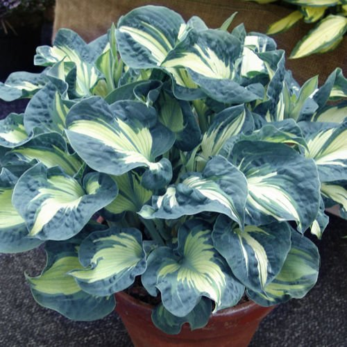 Hosta (Funkia) Golden Meadows ® 1 szt.